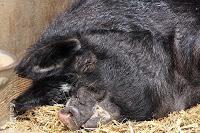 La guerra del Cerdo