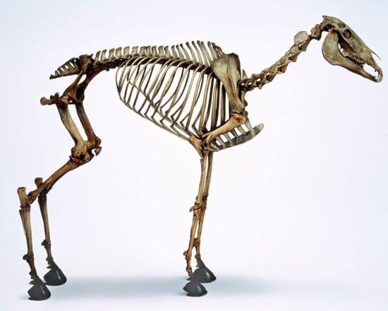 Esqueleto de Marengo