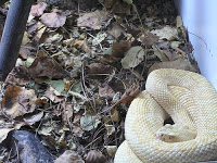 Un arma poderosa en la guerra de vietnam: serpientes